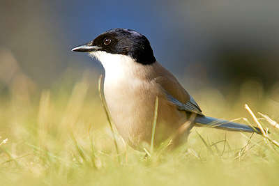 Azure winged magpie, birdwatching, bird watching, Extremadura